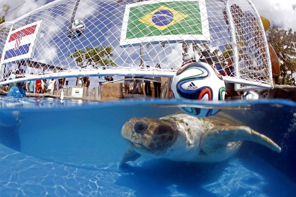 Grosse Tête la tortue brésilienne, pronostics football