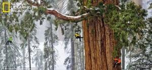 Plus vieux séquoia au monde, National Geographic