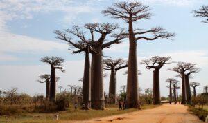 Allée des baobabs, Madagascar