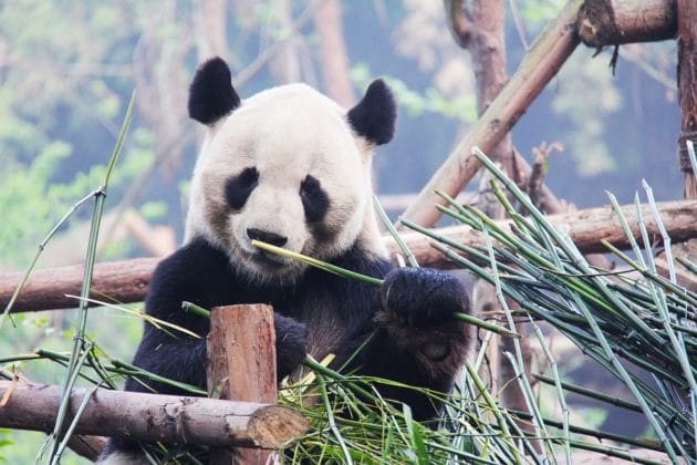 Les 13 choses incontournables à faire à Chengdu