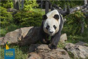 panda du zooparc de beauval