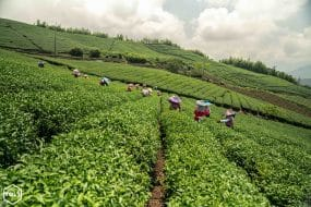 Plantation de thé Taïwan