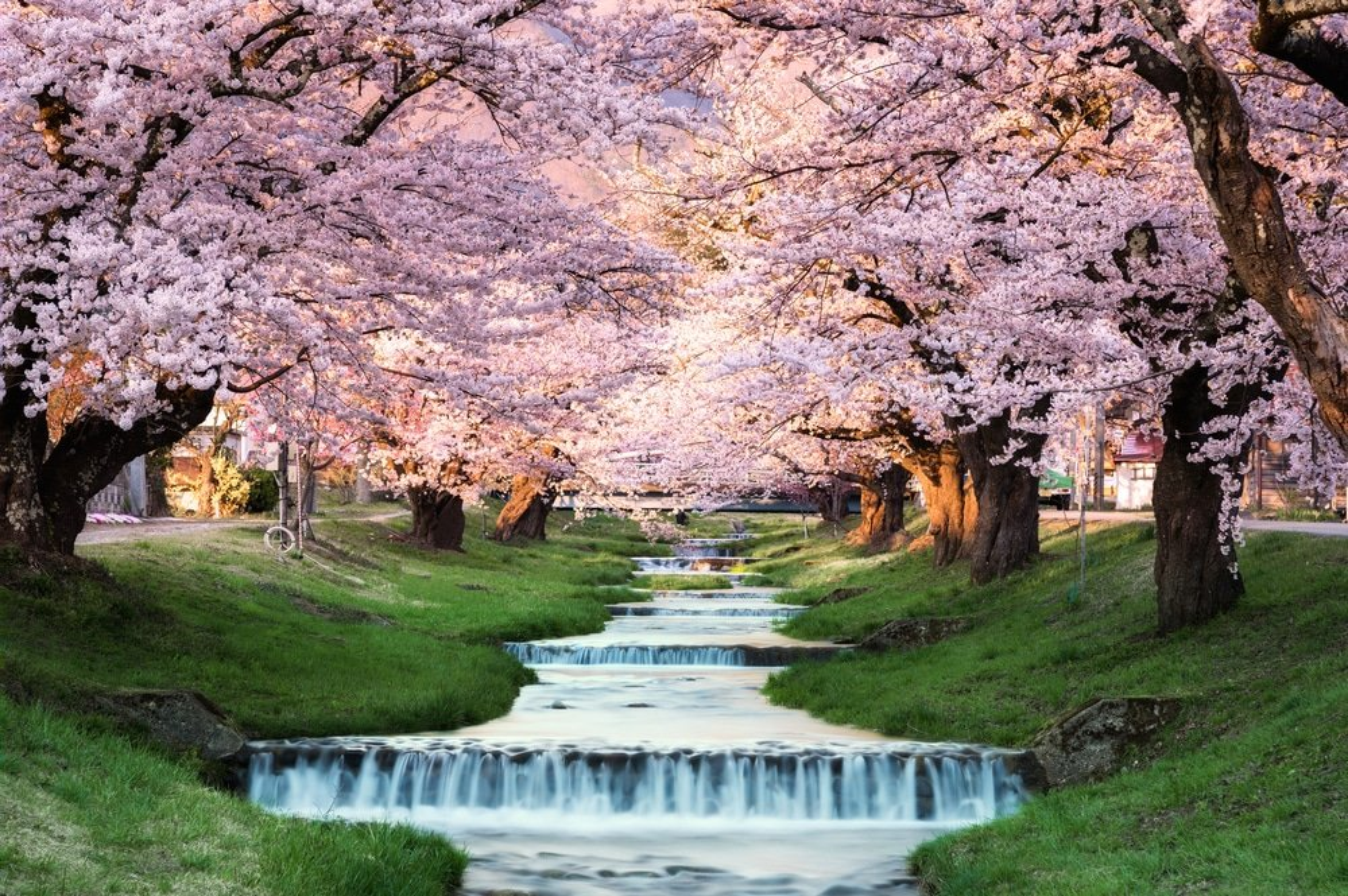 Fleurs de cerisiers à Kawageta Fukushima, Japon