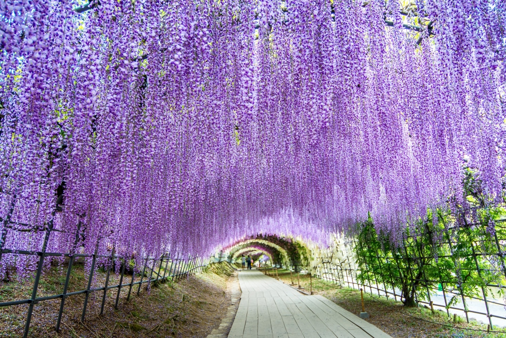 Tunnel de la cantine au jardin Kawachi Fuji - photos Japon