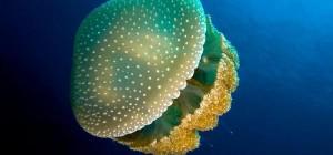Les 15 plus belles méduses au monde !