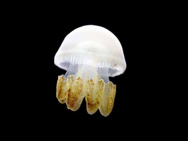 meduse15
