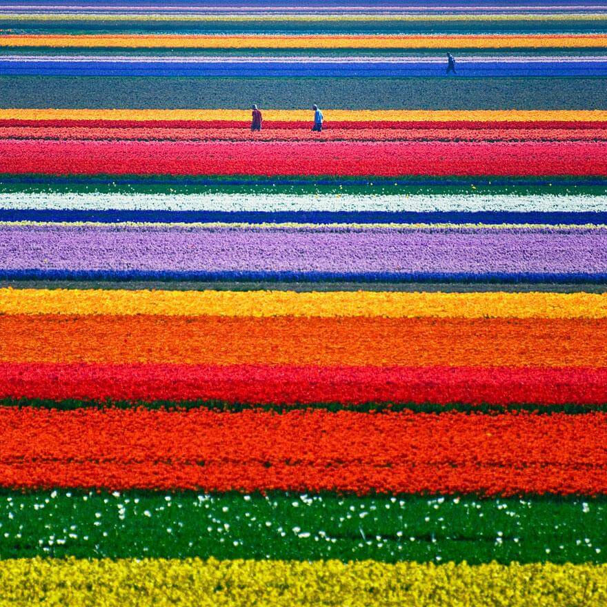 Champ de tulipes en Hollande