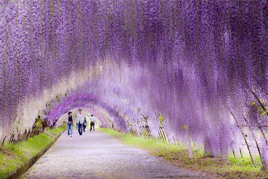 Tunnel de fleurs au Japon