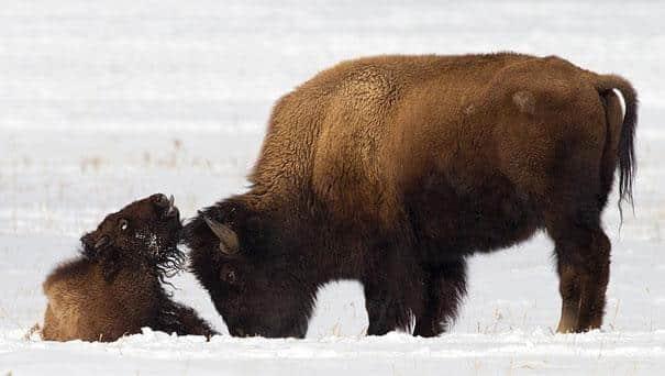 bison et son petit