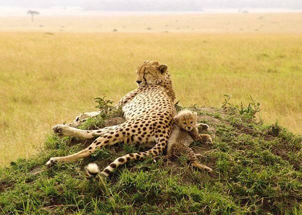 jaguar et son petit