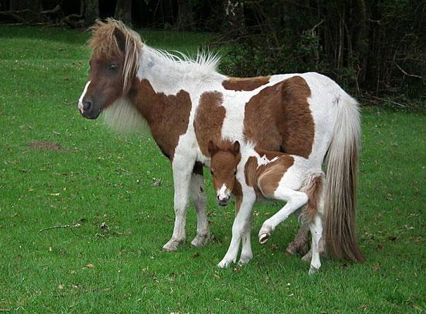 poney et son petit