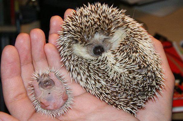 herisson et son petit