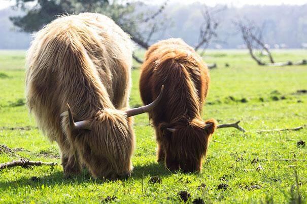 yak et son petit