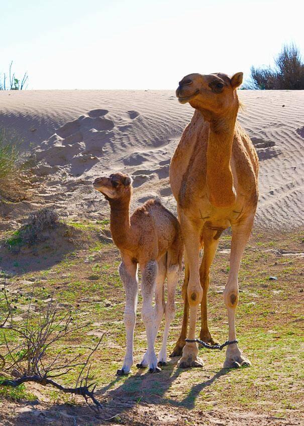 chameau et son petit