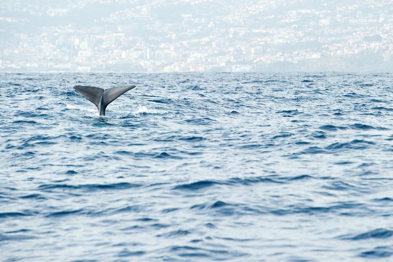 Observation des baleines à Madère