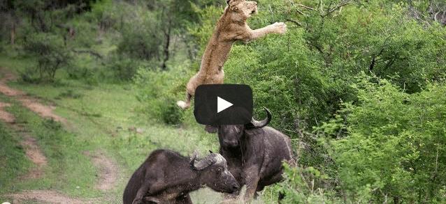 Un buffle envoie un lion en l'air !