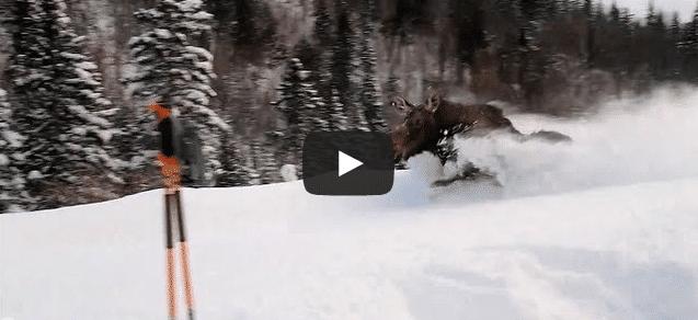 Un élan vient saluer des skieurs !