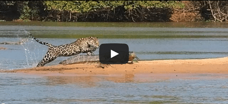 Un jaguar attaque un crocodile !