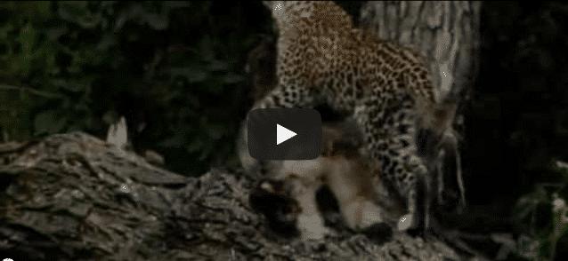 Un léopard tue un singe et adopte son bébé !