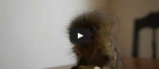 Le singe le plus petit du monde !