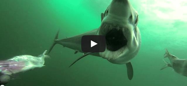 L'attaque d'un requin-taupe filmée !