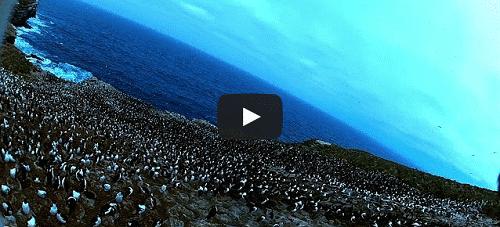 Un «camerapace» filme des pingouins !