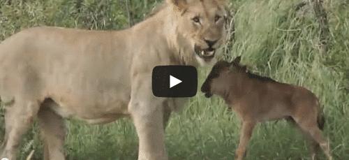 Un bébé gnou sauvé par un lionne