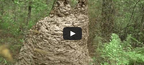 Un nid de guêpes immense attaque une caméra