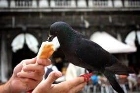 pigeon venise