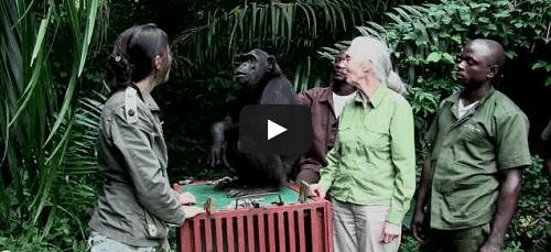 Un singe prend dans ses bras sa libératrice