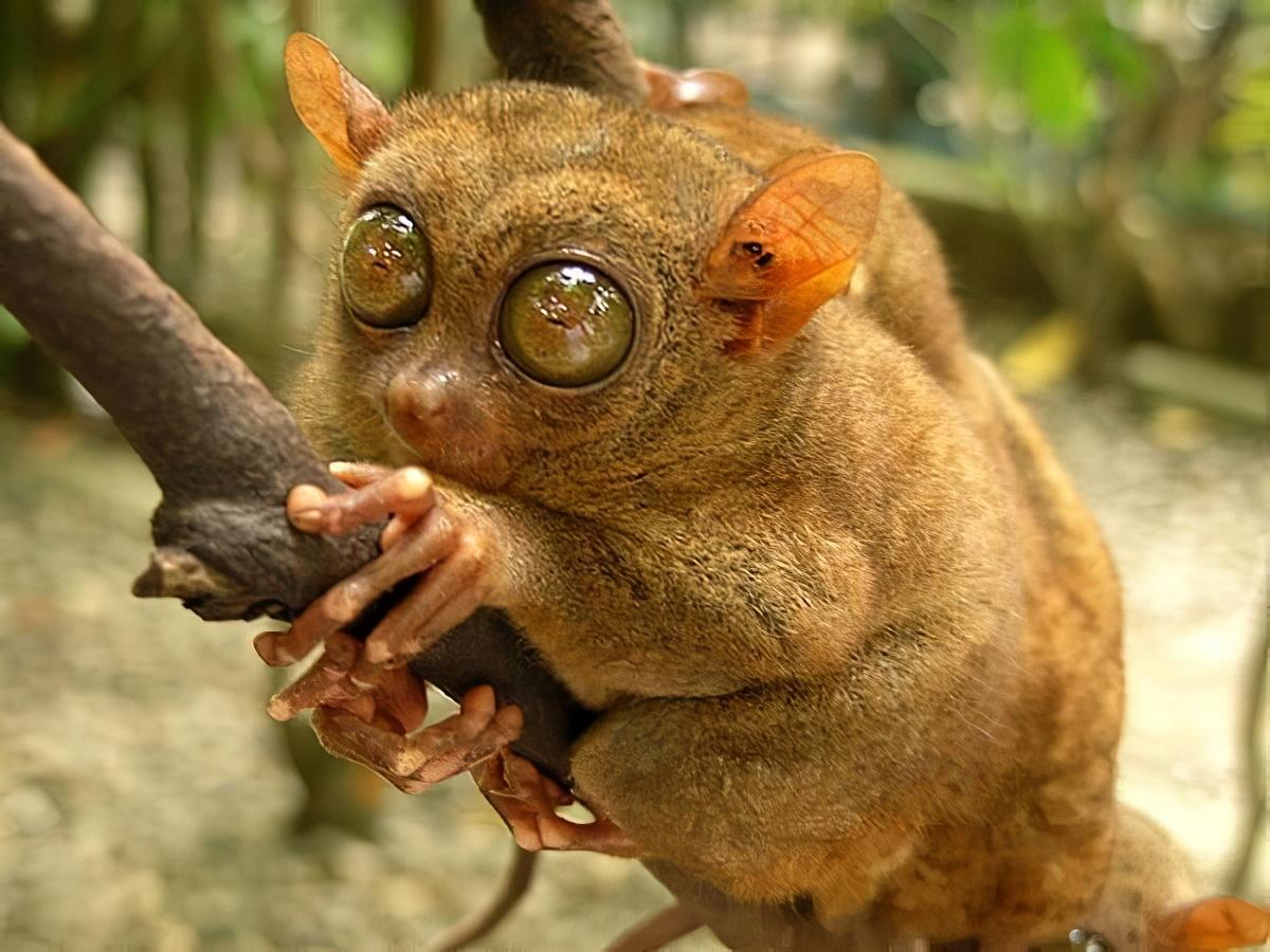 tarsier bohol