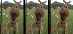 Un kangourou après une séance de muscu !