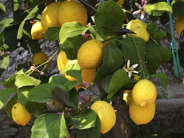 Limonaia del Castel - Limone sul Garda - Lac de Garde - Italie