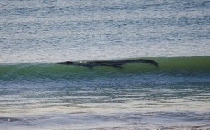 Crocodile Surf Australie