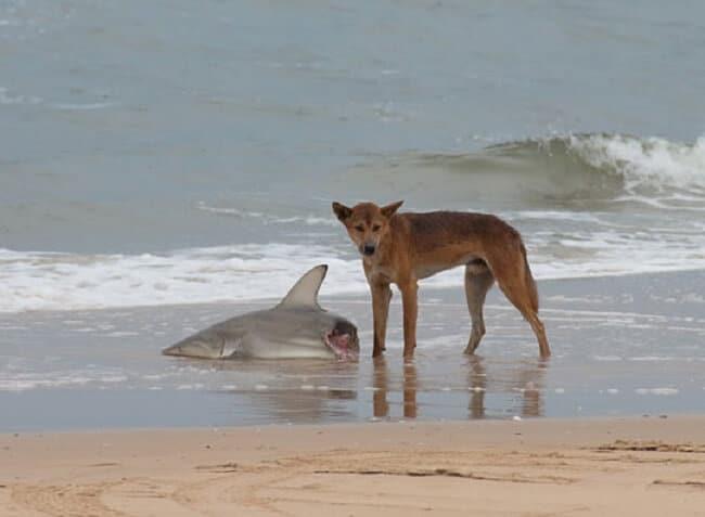 dingo mange requin australie