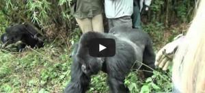 Gorille attaque une femme