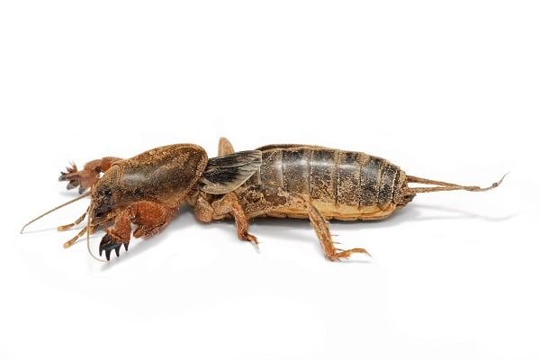 Gryllotalpidae Australie