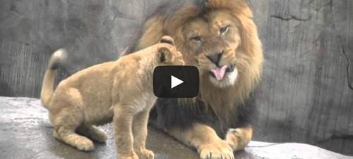 3 lionceaux rencontrent leur père