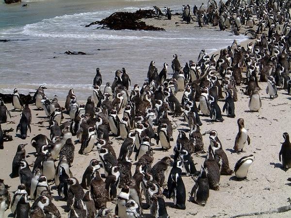 Pingouins Boulders Beach Afrique du Sud