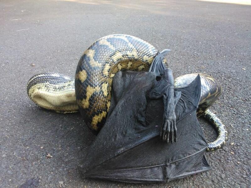 python chauve-souris Australie