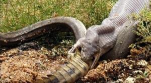 Python avale un crocodile