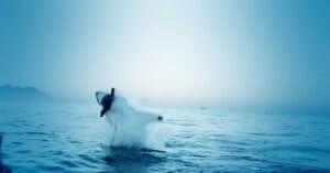 Requin phoque