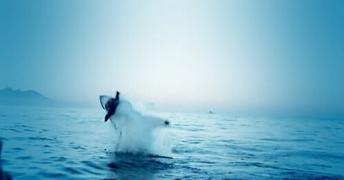 Un requin attrape un phoque en l'air