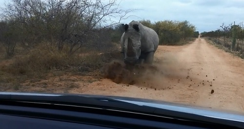 Un rhino charge une voiture au Kruger National Park