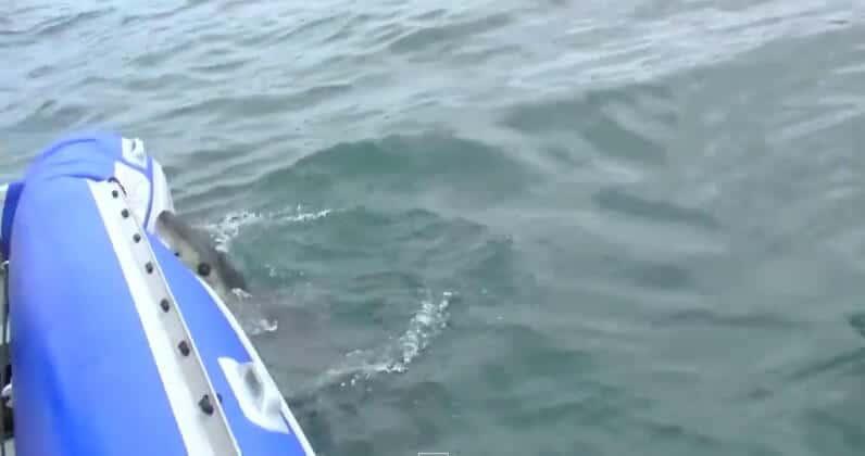 Un requin attaque et crève un Zodiac