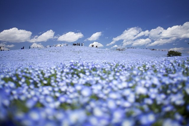 Hitachi Seaside Park, Japon