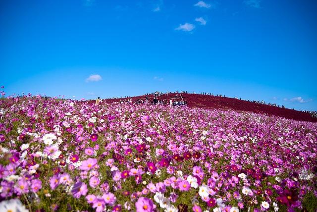 Hitachi Seaside Park, Japon