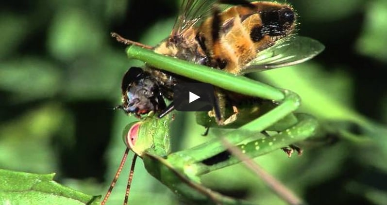 Une mante religieuse dévore une mouche