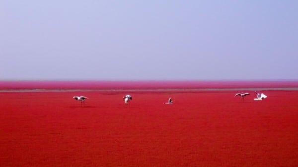 La Plage rouge de Panjin en Chine