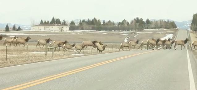 Un troupeau de wapitis traverse la route